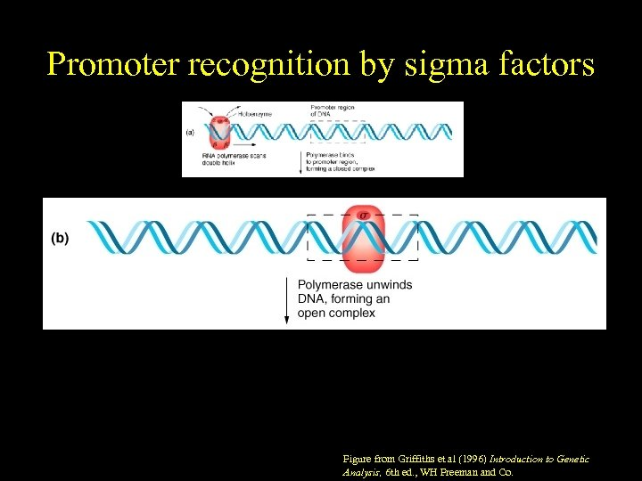 Promoter recognition by sigma factors Figure from Griffiths et al (1996) Introduction to Genetic