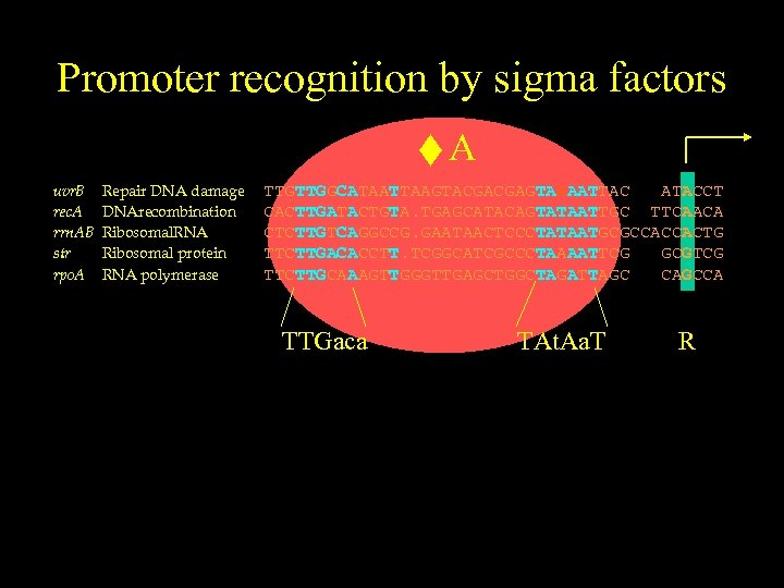 Promoter recognition by sigma factors uvr. B rec. A rrn. AB str rpo. A