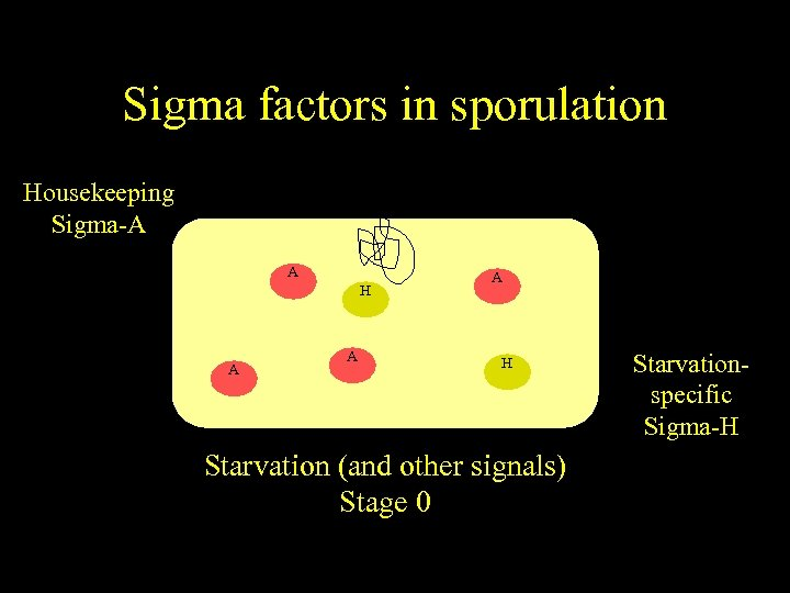 Sigma factors in sporulation Housekeeping Sigma-A A H A A A H Starvation (and