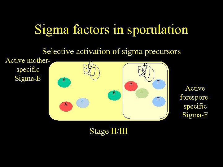 Sigma factors in sporulation Selective activation of sigma precursors Active motherspecific Sigma-E E A