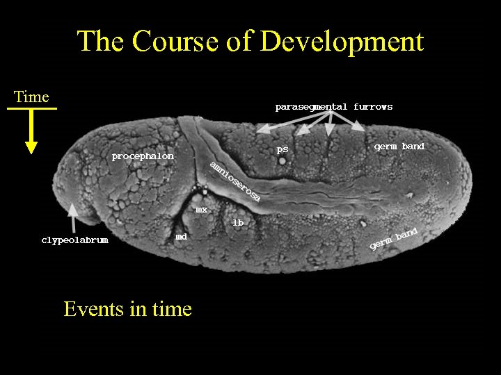 The Course of Development Time Events in time