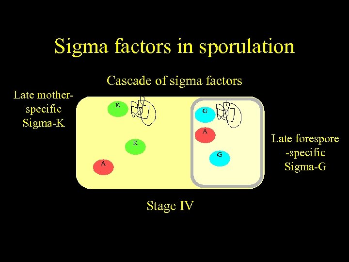 Sigma factors in sporulation Cascade of sigma factors Late motherspecific Sigma-K K G E