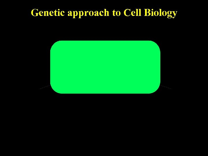 Genetic approach to Cell Biology