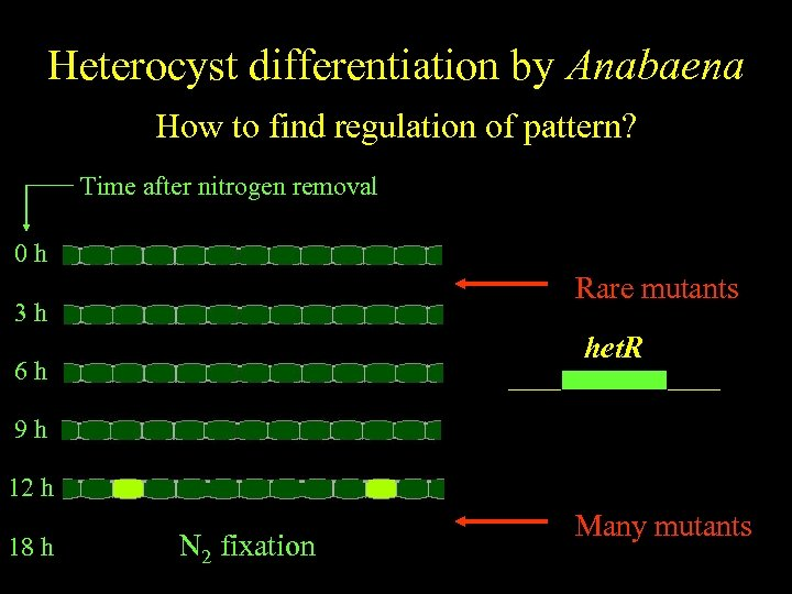 Anabaena Heterocyst differentiation by Anabaena Spatiallyfind regulation of pattern? regulated differentiation How to Time