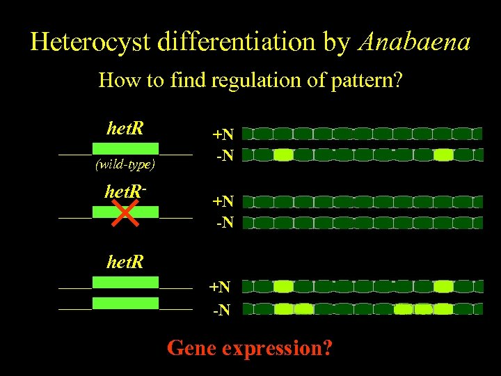 Anabaena Heterocyst differentiation by Anabaena Spatiallyfind regulation of pattern? regulated differentiation How to het.