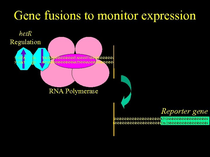 Gene fusions to monitor expression het. R Regulation het. R gene 5'-GTA 3'-CAT .