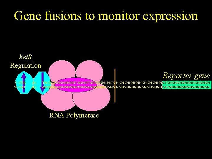 Gene fusions to monitor expression het. R Regulation Reporter gene 5'-GTA 3'-CAT . .