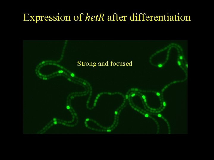Expression of het. R after differentiation Strong and focused