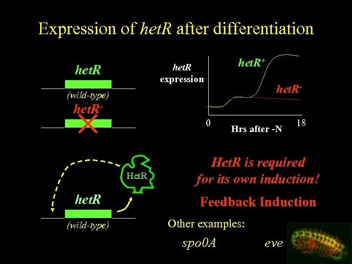 Expression of het. R after differentiation het. R+ het. R expression het. R- (wild-type)
