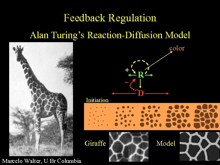 Feedback Regulation Alan Turing's Reaction-Diffusion Model color + Initiation Giraffe Marcelo Walter, U Br
