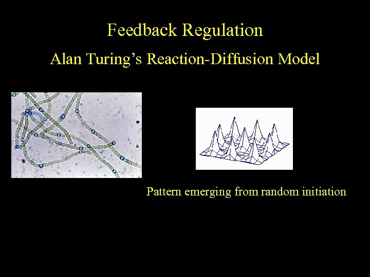 Feedback Regulation Alan Turing's Reaction-Diffusion Model Pattern emerging from random initiation