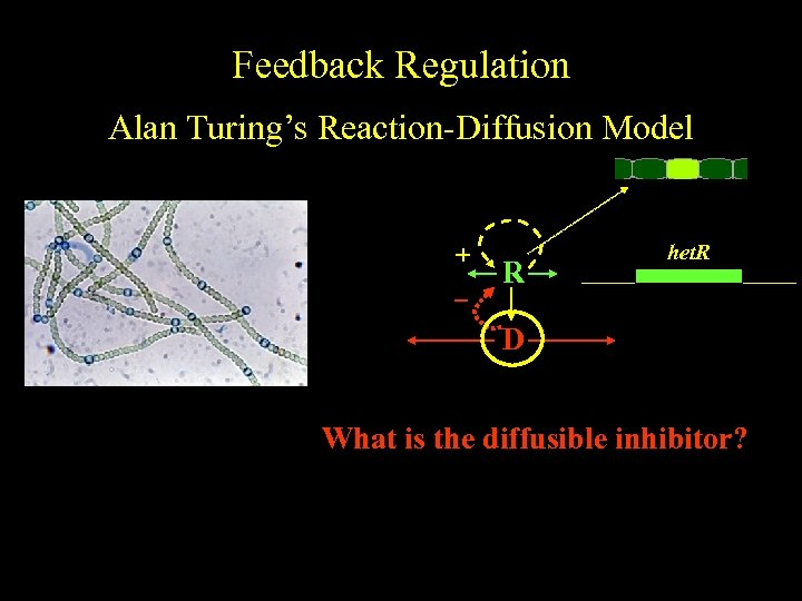 Feedback Regulation Alan Turing's Reaction-Diffusion Model color + R het. R D What is