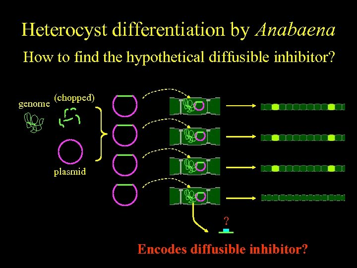 Heterocyst differentiation by Anabaena How to find the hypothetical diffusible inhibitor? genome (chopped) plasmid