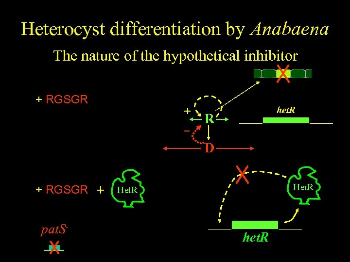 Heterocyst differentiation by Anabaena The nature of the hypothetical inhibitor color + RGSGR +