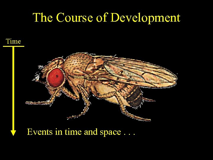 The Course of Development Time Events in time and space. . .