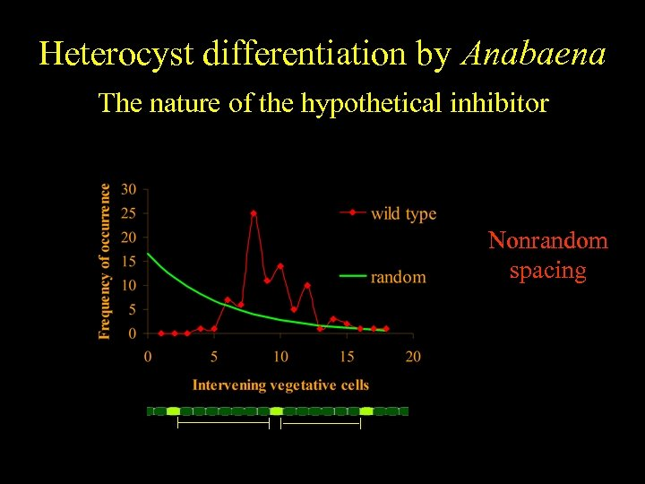 Heterocyst differentiation by Anabaena The nature of the hypothetical inhibitor Nonrandom spacing