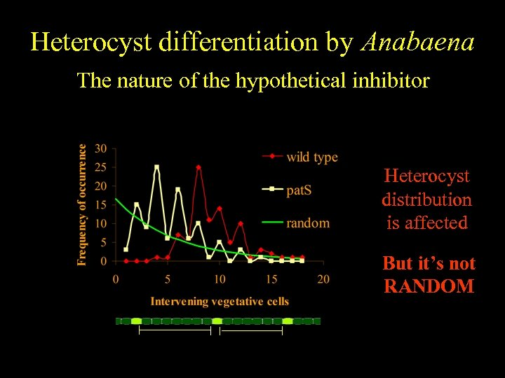 Heterocyst differentiation by Anabaena The nature of the hypothetical inhibitor Heterocyst distribution is affected