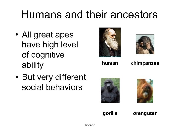 Humans and their ancestors • All great apes have high level of cognitive ability