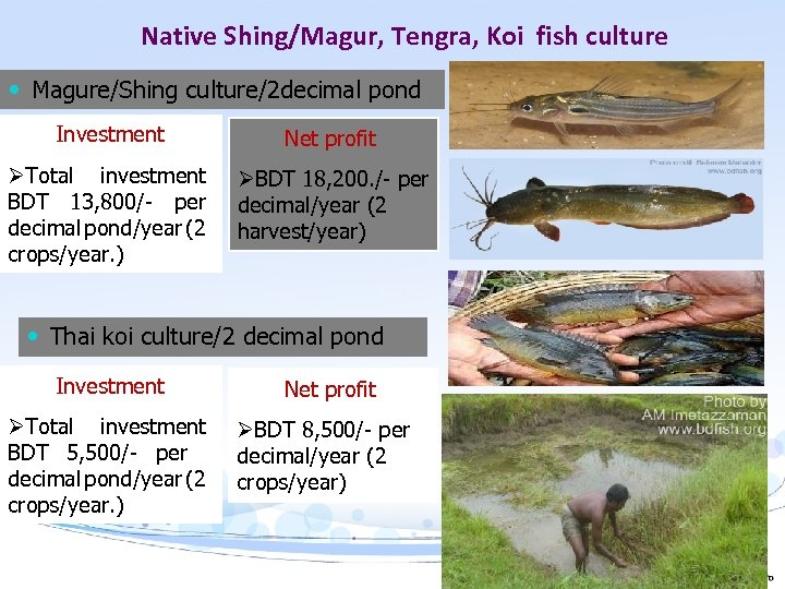 Native Shing/Magur, Tengra, Koi fish culture Magure/Shing culture/2 decimal pond Investment Net profit ØTotal