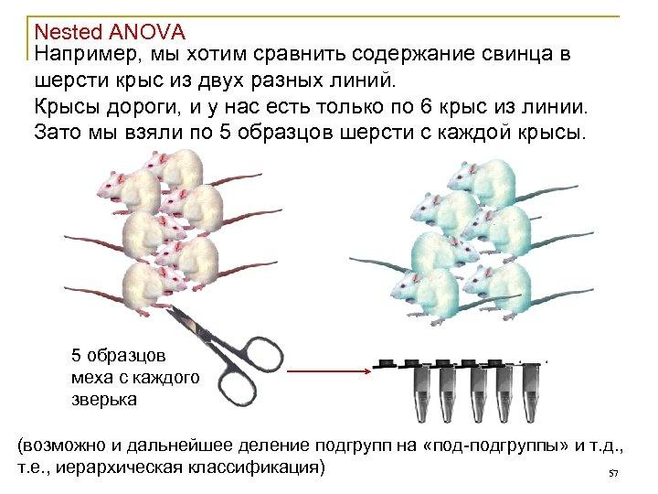 Nested ANOVA Например, мы хотим сравнить содержание свинца в шерсти крыс из двух разных