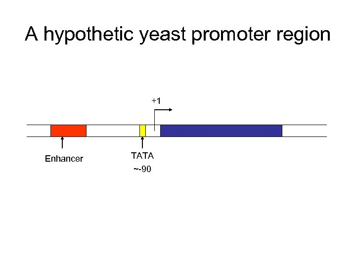 A hypothetic yeast promoter region +1 Enhancer TATA ~-90