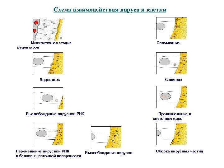 Схема взаимодействия вируса и клетки Межклеточная стадия Связывание рецепторов Эндоцитоз С лияние Высвобождение