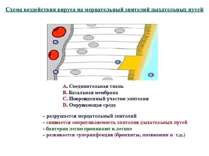 Схема воздействия вируса на мерцательный эпителий дыхательных путей А. Соединительная ткань В. Базальная мембрана