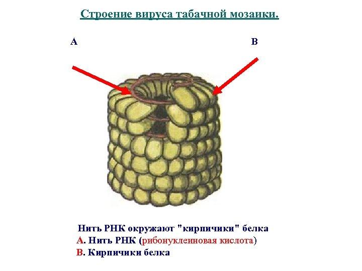 Строение вируса табачной мозаики. А В Нить РНК окружают