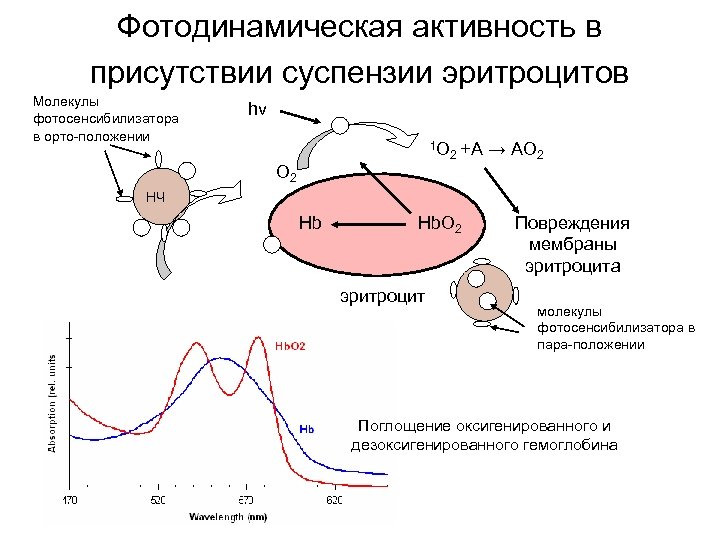 Фотодинамическая активность в присутствии суспензии эритроцитов Молекулы фотосенсибилизатора в орто-положении hν 1 O O