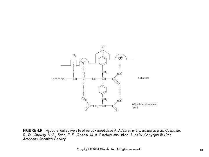FIGURE 5. 9 Hypothetical active site of carboxypeptidase A. Adapted with permission from Cushman, D.