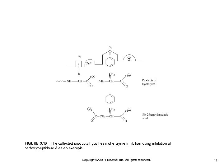 FIGURE 5. 10 The collected products hypothesis of enzyme inhibition using inhibition of carboxypeptidase A