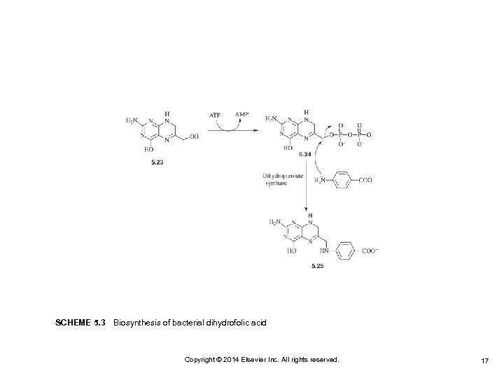 SCHEME 5. 3 Biosynthesis of bacterial dihydrofolic acid Copyright © 2014 Elsevier Inc. All rights
