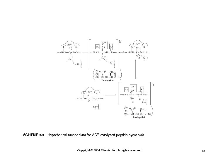 SCHEME 5. 5Hypothetical mechanism for ACE-catalyzed peptide hydrolysis Copyright © 2014 Elsevier Inc. All