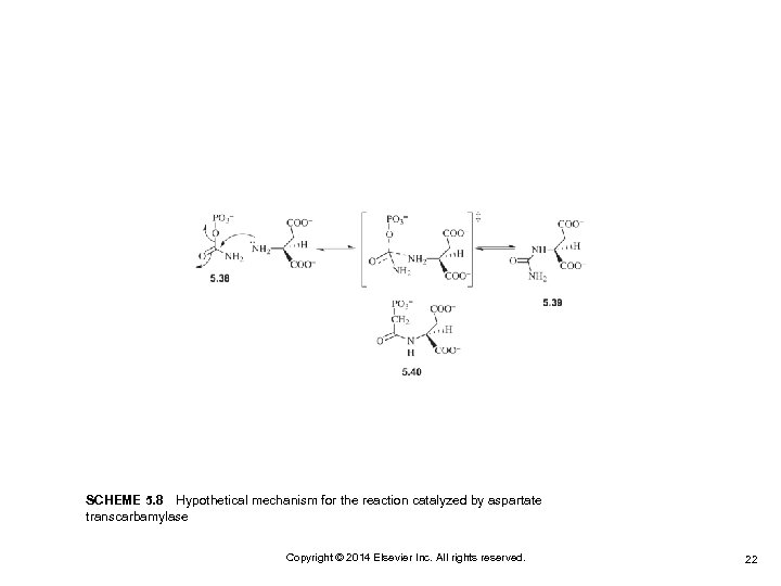 SCHEME 5. 8 Hypothetical mechanism for the reaction catalyzed by aspartate transcarbamylase Copyright © 2014