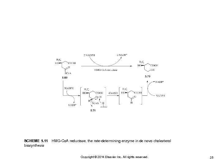 SCHEME 5. 11 HMG-Co. A reductase, the rate-determining enzyme in de novo cholesterol biosynthesis Copyright