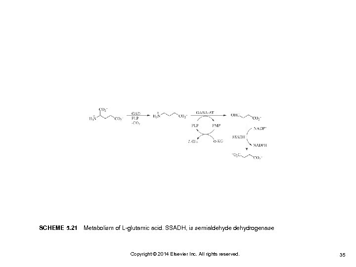 SCHEME 5. 21 Metabolism of L-glutamic acid. SSADH, is semialdehyde dehydrogenase Copyright © 2014 Elsevier