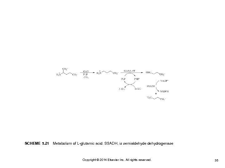 SCHEME 5. 21Metabolism of L-glutamic acid. SSADH, is semialdehyde dehydrogenase Copyright © 2014 Elsevier
