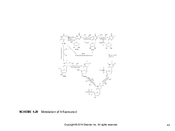SCHEME 5. 29Metabolism of 5 -fluorouracil Copyright © 2014 Elsevier Inc. All rights reserved.
