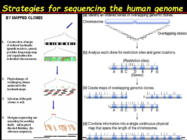 Strategies for sequencing the human genome