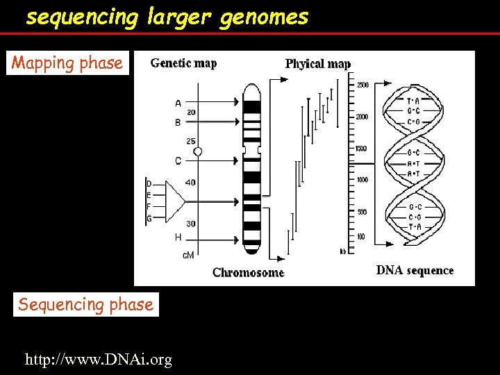 sequencing larger genomes Mapping phase Sequencing phase http: //www. DNAi. org