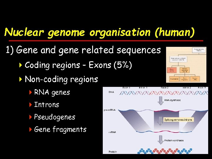 Nuclear genome organisation (human) 1) Gene and gene related sequences 4 Coding regions –