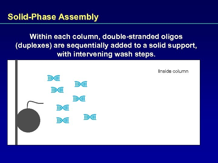 Solid-Phase Assembly Within each column, double-stranded oligos (duplexes) are sequentially added to a solid