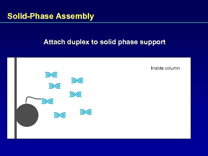 Solid-Phase Assembly Attach duplex to solid phase support Inside column