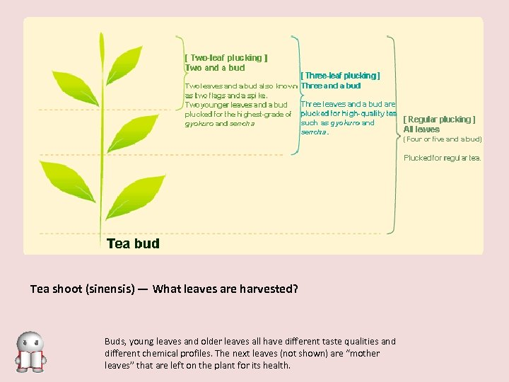Tea shoot (sinensis) — What leaves are harvested? Buds, young leaves and older leaves