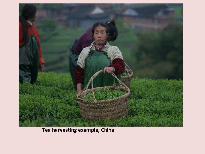 Tea harvesting example, China