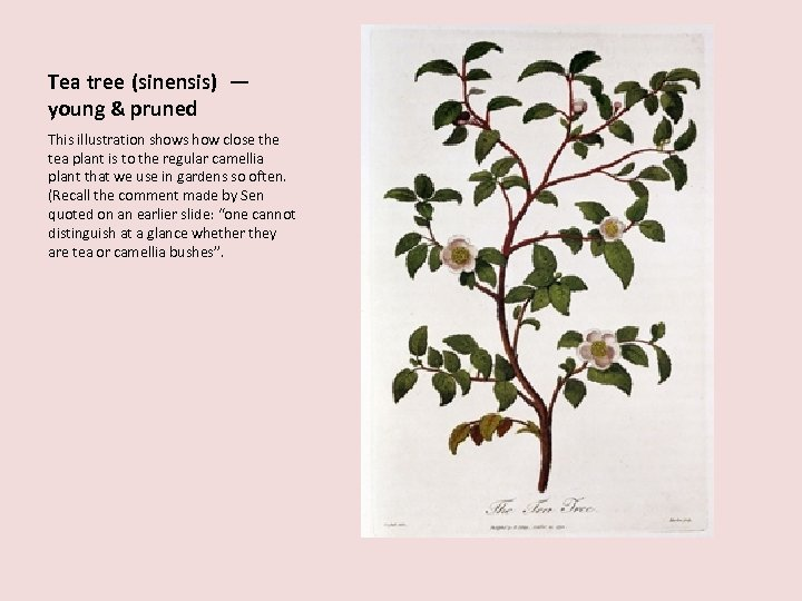 Tea tree (sinensis) — young & pruned This illustration shows how close the tea
