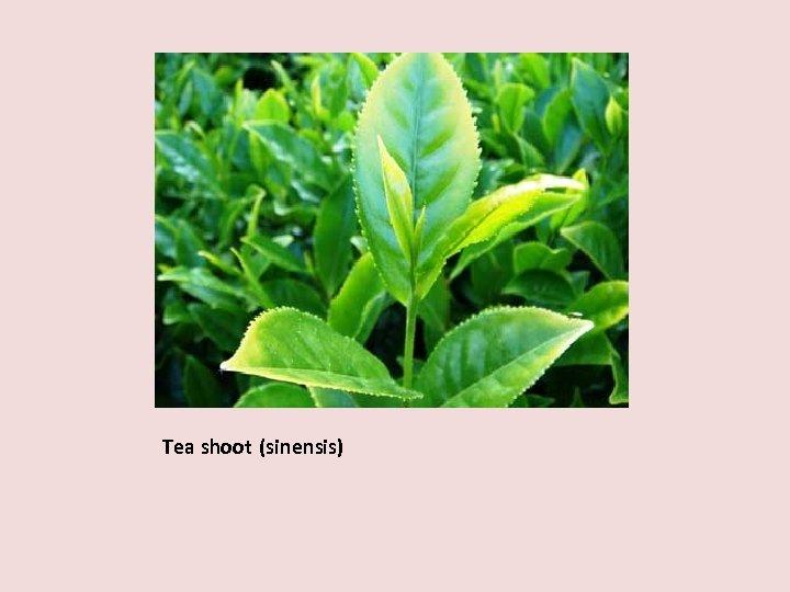 Tea shoot (sinensis)