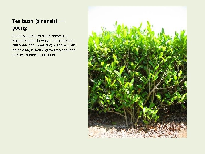 Tea bush (sinensis) — young This next series of slides shows the various shapes