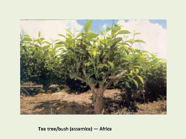 Tea tree/bush (assamica) — Africa