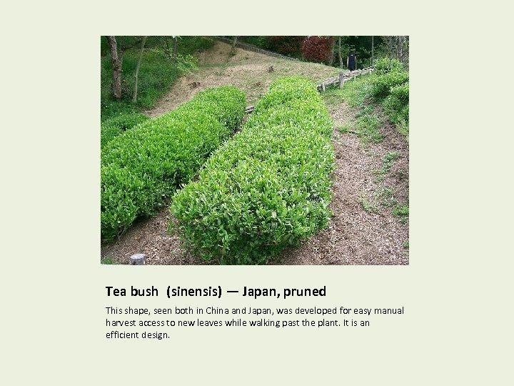 Tea bush (sinensis) — Japan, pruned This shape, seen both in China and Japan,